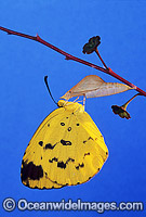 Grass-yellow Butterfly emerging from pupa Photo - Gary Bell