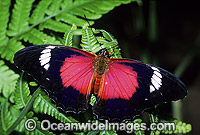 Red Lacewing Butterfly Photo - Gary Bell