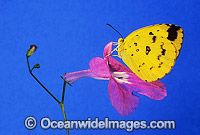 Grass-yellow Butterfly Eurema hecabe Photo - Gary Bell