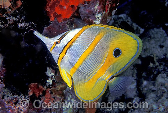 Beaked Coralfish (Chelmon rostratus). Great Barrier Reef, Queensland, Australia Photo - Gary Bell