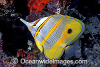 Beaked Coralfish Chelmon rostratus Photo - Gary Bell