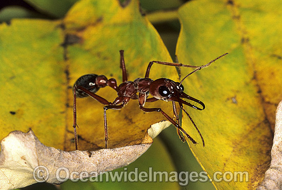 Bull Ant (Myrmecia nigrocincta). Coffs Harbour, New South Wales, Australia Photo - Gary Bell