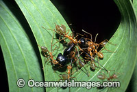 Green tree ants attacking Bull Ant image