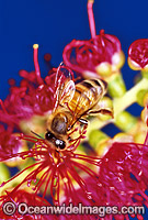 Honey Bee collecting pollen Photo - Gary Bell