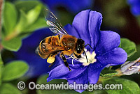 Honey Bee Apis Mellifera collecting pollen image