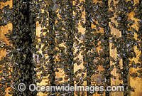 Worker Honey Bees storing pollen in hive Photo - Gary Bell