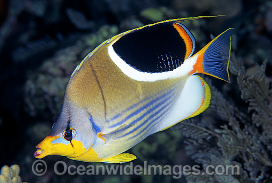 Saddled Butterflyfish (Chaetodon ephippium). Great Barrier Reef, Queensland, Australia Photo - Gary Bell