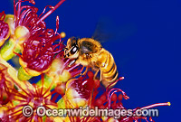 Honey Bee Apis Mellifera collecting pollen Photo - Gary Bell