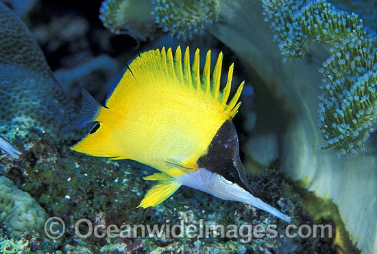 Long-nose Butterflyfish (Forcipiger flavissimus). Great Barrier Reef, Queensland, Australia