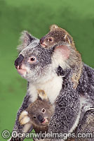 Koala mother with two cubs photo