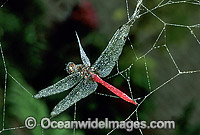 Dragonfly in Spider web image