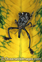 Curculion Weevil Photo - Gary Bell