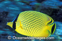 Latticed Butterflyfish Chaetodon rafflesi Photo - Gary Bell