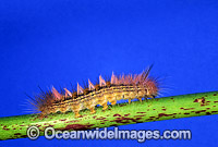 Moth caterpillar Spilosoma canescens Photo - Gary Bell