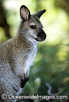 Red-necked Wallaby Macropus rufogriseus rufogriseus Photo - Gary Bell