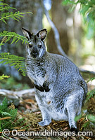 Red-necked Wallaby Photo - Gary Bell