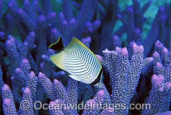 Chevroned Butterflyfish (Chaetodon trifascialis) amongst Acropora Coral. Great Barrier Reef, Queensland, Australia