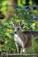 Forester Kangaroo Macropus giganteus Photo - Gary Bell