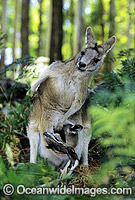 Forester Kangaroo mother with joey Photo - Gary Bell