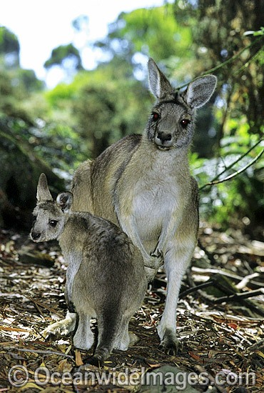 Forester Kangaroo (Macropus giganteus tasmaniensis), is recognised as the Tasmanian subspecies of the Eastern Grey Kangaroo (Macropus giganteus) found on mainland Australia. Photo taken in Tasmania, Australia. Photo - Gary Bell