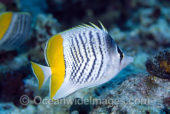 Merten's Butterflyfish (Chaetodon mertensii). Great Barrier Reef, Queensland, Australia Photo - Gary Bell