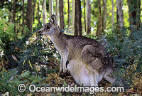 Forester Kangaroo joey in pouch Photo - Gary Bell