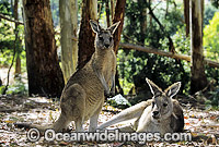 Forester Kangaroos Macropus giganteus Photo - Gary Bell