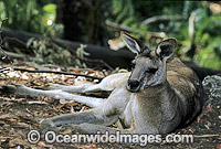 Forester Kangaroo resting Photo - Gary Bell