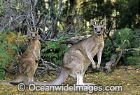 Forester Kangaroos with joey Photo - Gary Bell
