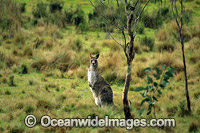 Eastern Grey Kangaroo New England National Park Photo - Gary Bell
