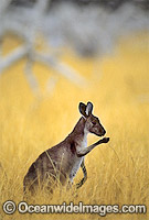 Western Grey Kangaroo eating grass Photo - Gary Bell