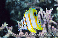 Beaked Butterflyfish Chelmon rostratus photo