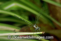 Dragonfly Austroargiolestes isabellae photo