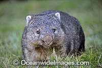 Common Wombat Vombatus ursinus Photo - Gary Bell
