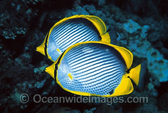 Black-back Butterflyfish Chaetodon melannotus photo