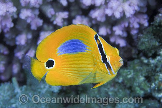 Blue-spot Butterflyfish (Chaetodon plebeius). Great Barrier Reef, Queensland, Australia