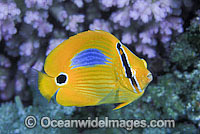 Blue-spot Butterflyfish Chaetodon plebeius photo
