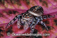 Garden Jumping Spider Photo - Gary Bell