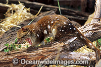 Spotted-tailed Quoll Dasyurus maculatus Photo - Gary Bell