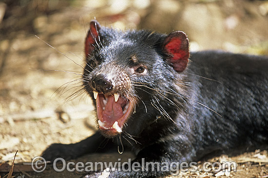 Tasmanian Devil (Sarcophilus harrisii) with mouth open showing teeth. Tasmania, Australia Photo - Gary Bell