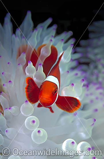 Spine-cheek Anemonefish (Premnas biaculeatus) amongst anemone tentacles. Also known as Tomato Clownfish. Great Barrier Reef, Queensland, Australia