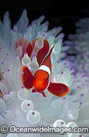 Spine-cheek Anemonefish Premnas biaculeatus Photo - Gary Bell
