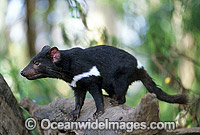 Tasmanian Devil Sarcophilus harrisii photo