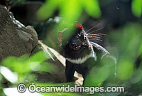 Tasmanian Devil Sarcophilus harrisii Photo - Gary Bell