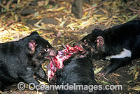 Tasmanian Devils three adults feeding Photo - Gary Bell