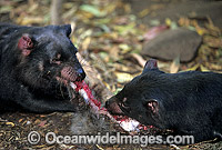 Tasmanian Devils two adults feeding Photo - Gary Bell