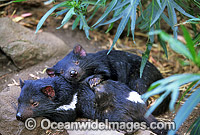 Tasmanian Devils Sarcophilus harrisii photo
