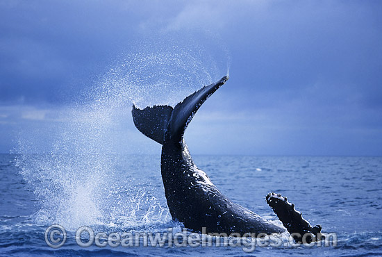 Humpback Whale tail fluke slapping photo