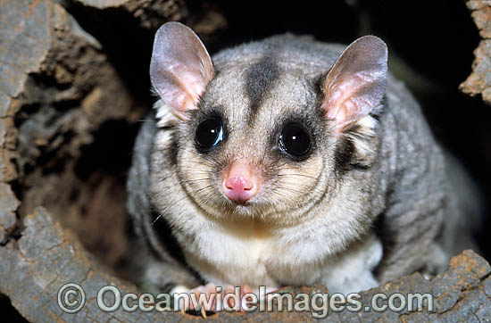 Squirrel Glider (Petaurus norfolcensis). South East Queensland, Australia. Listed on IUCN Red List as Lower Risk - Near Threatened. Photo - Gary Bell