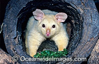 Common Brushtail Possum Trichosurus vulpecula